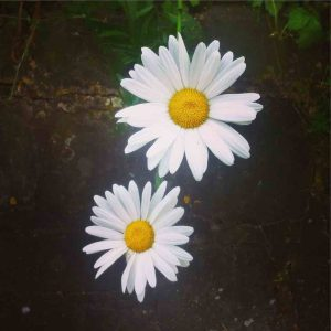 two 'he loves me, he loves me not' daisies