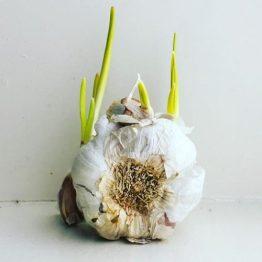 Garlic, Garlick, Garlike!